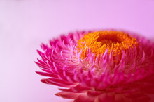 Macro Of A Blooming Pink Helic...