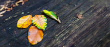 Beech Leaves In Strong Yellow-green Tones On An Old Weathered Wooden Table Color Contrast Autumn Thanksgiving Composition Forfeit Decay Change Of Seasons Thanksgiving Sadness Transience