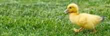 Small Newborn Ducklings Walkin...