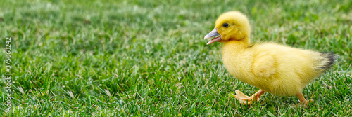 Tela Small newborn ducklings walking on backyard on green grass