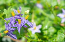5 Solanum Trilobatum Flowers