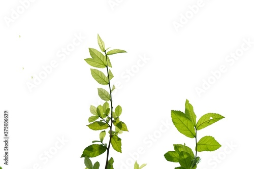Tropical plant leaves with branches on white isolated background for green folia Canvas