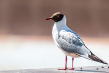 Laughing Gull, Close Up, Natur...