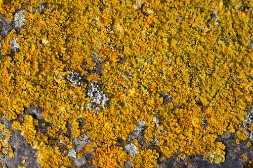 Close up of the lichen Xanthoria calcicola on basalt, mixed with several other s Canvas Print