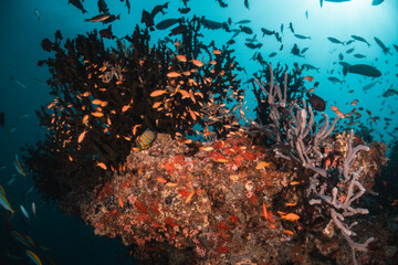 Fototapeta na wymiar Underwater tropical reef scene, schools of small fish swimming together in blue water among colorful coral reef in The Maldives, Indian Ocean
