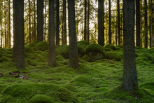 Pine And Fir Forest With Moss Covered Rocks On The Forest Floor