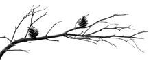 Silhouette Branche De Conifère