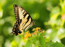 Swallowtail2, Butterfly, Portr...