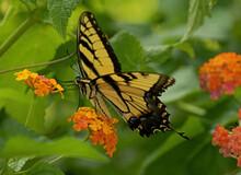 Swallowtail, Butterfly, Portra...