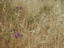 Outdoor Natural Landscape Of With Golden Color Grass And Purple Flowers In Summer Season.
