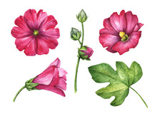Watercolor Set Of Mallow Flowers, Hand Painted Floral Illustration Isolated On A White Background.