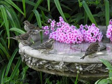 Sparrows On A Bird Bath In Front Of Phloxes