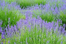 A Field Of Fragrant Lavender F...