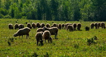 The High Pastures Of The Altai...