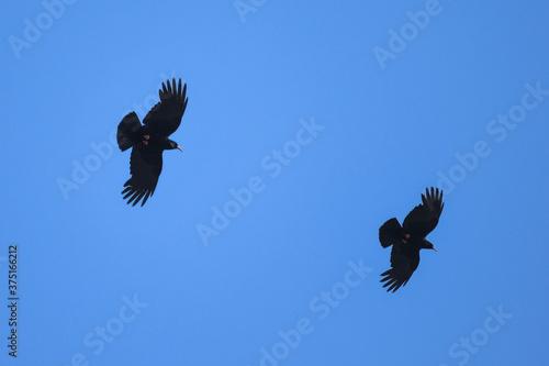 Vászonkép Gracchio corallino (Pyrrhocorax pyrrhocorax) coppia in volo su sfondo cielo blu