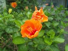 Two Large Flowers Of Orange Hi...