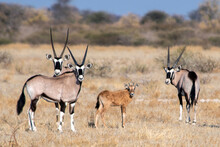 Oryx Antelopes With Calf