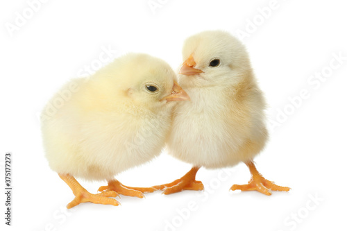 Obraz Cute fluffy baby chickens on white background. Farm animals - fototapety do salonu