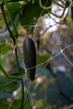 Cucumber Growing On A Vine
