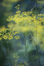 Vibrant Yellow Dill Flowers Bl...