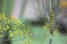 A Black Swallowtail Butterfly Caterpillar Eats Dill In A Summer Garden