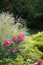 Hot PInk Oleander, Ornamental Grass & Gold Juniper