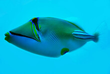 Picasso Fish Isolated On Blue Sea Background