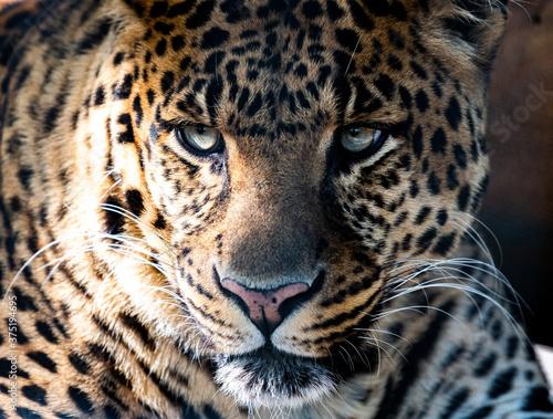 Fototapety, obrazy: Jaguar