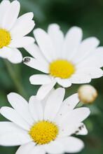 Tiny Insect Walking On Giant Daisy Petal
