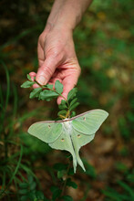 Luna Moth Perched On The Underside Of A Twig Being Held By Hand
