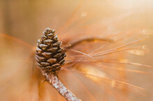 Pinecone On A Branch In Golden Light