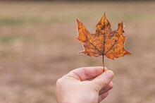 Hand Holding A Maple Leaf With...