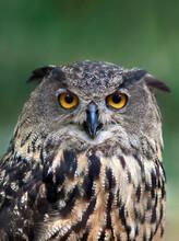 Eurasian Eagle Owl Closeup Por...
