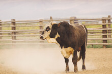 A Rodeo Bucking Bull Stands After Bucking.