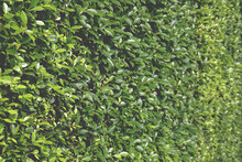 Perspective View Of Dense Ficus Fence