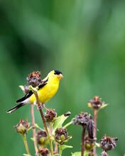 Wild Canary Bird Closeup