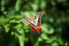 Butterfly On Orange Lantana Flowers In Sunny Garden