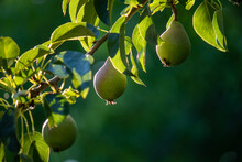 Group Of Ripe Healthy Yellow A...