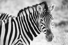 Wild African Zebra Portrait