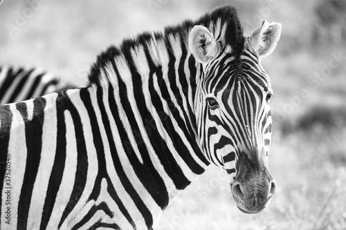 Wild African Zebra Portrait Canvas Print