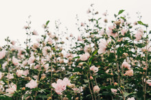 Pastel Pink Flowers Growing On A Bush