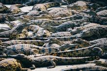 Mass Of Young Crocodiles