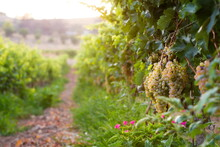 Vineyard In The Early Evening