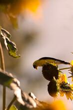 Wild Canary Bird Eating Seeds ...