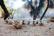 Sociable Weaver Birds Eating S...