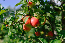 Red Apples In An Orchard.