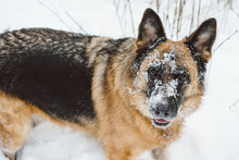Dog With Snow On Her Face