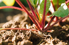 Close Up Of Beet Root And Plant, Growing