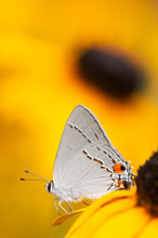 Grey Hairstreak Butterfly On A Blackeyed Susan Flower