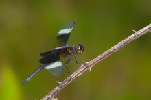 Widow Skimmer Dragonfly On A Brier